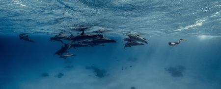 Photo pour A freediver together with dolphins in Red sea - image libre de droit