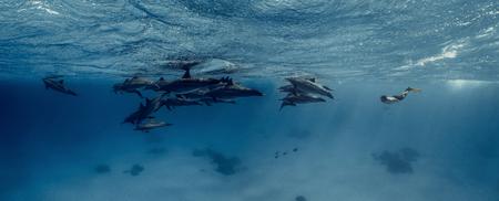 Foto de A freediver together with dolphins in Red sea - Imagen libre de derechos