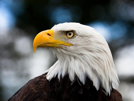 Photo pour Bald Headed Eagle, close up shot with blurred background - image libre de droit