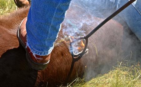 Foto de A branding iron on a beef calf singes the hair which erupts in an instant flame. - Imagen libre de derechos