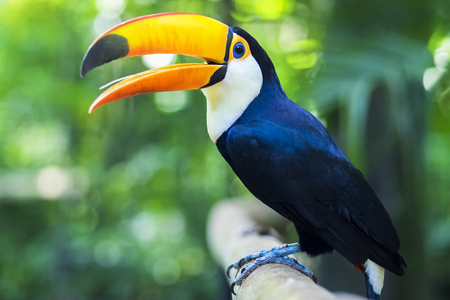 Photo pour Toucan Exotic Bird in Natural Setting Near Iguazu Falls, Foz do Iguaçu, Brazil - image libre de droit
