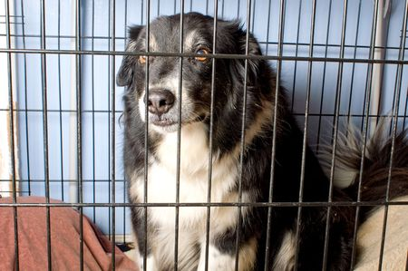 A border collie at a dog pound or pet store.