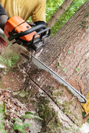 Photo for Closeup of chainsaw being held by forestry worker making a wedge cut into a spruce tree - Royalty Free Image