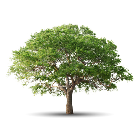 Photo for Green tree isolated on white background - Royalty Free Image