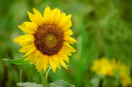 Photo pour Close up of sunflower in field with room for copy - image libre de droit