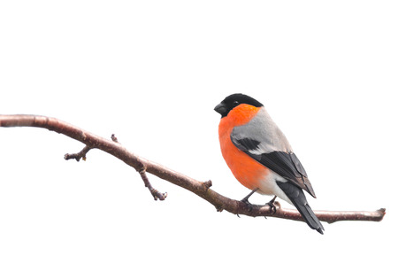 Photo pour Bullfinch sitting on a branch isolated on white background - image libre de droit