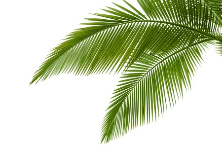 Foto de Palm leaves isolated on white - Imagen libre de derechos