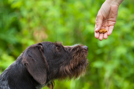 Photo for hand with treat training dog on the green summer background - Royalty Free Image