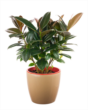 Photo pour Ficus elastica (Indian Rubber Bush) in light brown flowerpot isolated on white background. Closeup. - image libre de droit