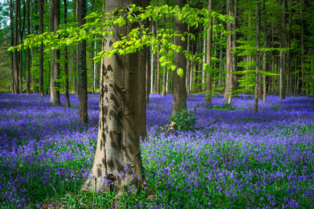 Photo for Magical Belgian Hallerbos turns into a sea of wild bluebells every spring. The fresh green leaves of the beech trees provide a colorful contrast. - Royalty Free Image
