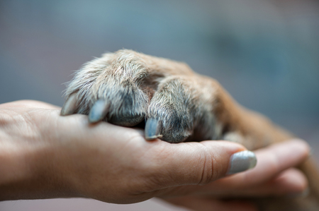 Photo pour paw in female hand, human hand and dog paw - image libre de droit