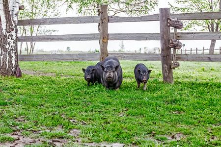 Vietnamese pig family crazing spring grass on farm