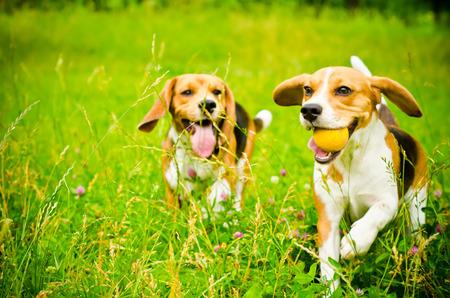 Foto de two beagle dog on a green grass - Imagen libre de derechos