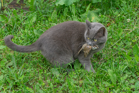 Photo for Gray domestic cat catches sparrow. It holds dead bird in his jaw. - Royalty Free Image