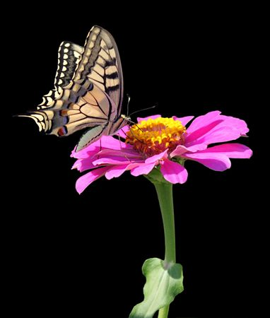 butterfly (Papilio Machaon) on flower (zinnia)