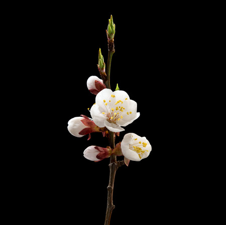 Foto de Flowering branch of apricot on black background. Macro. Nature. High resolution product - Imagen libre de derechos