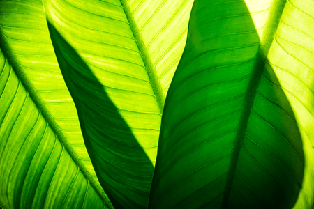 Photo for Close up of natural green leaves background, tropical foliage texture. - Royalty Free Image