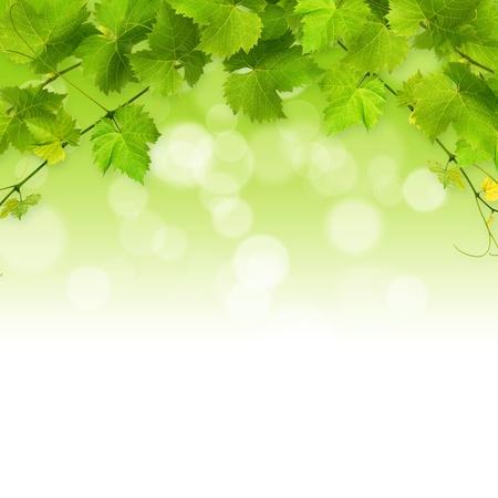 Photo pour Bunch of green vine leaves on a white background - image libre de droit