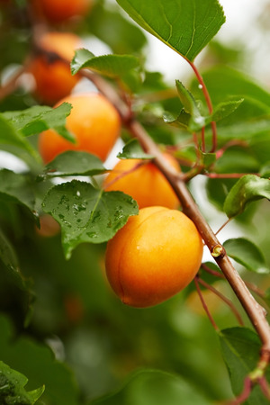 Photo for Several ripe apricots on the branch of an apricot tree - Royalty Free Image