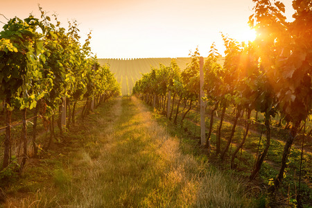 Photo for Beautiful Sunrise over a vineyard - Royalty Free Image
