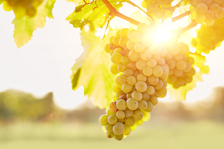Photo for Bunch of grapes in vineyards at sunset - Royalty Free Image