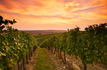 Foto de Beautiful vineyard landscape in Moravia, toned at sunset - Imagen libre de derechos