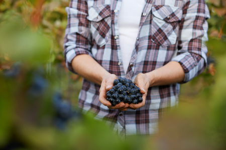 Photo for Man holding grapes at harvest in vineyard - Royalty Free Image