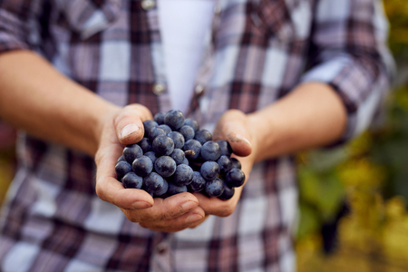 Photo for Male hands with blue grapes in a vineyard. Winemaker at harvest. - Royalty Free Image
