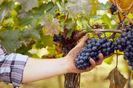 Photo for Winemaker picking grapes during harvest in vineyard - Royalty Free Image