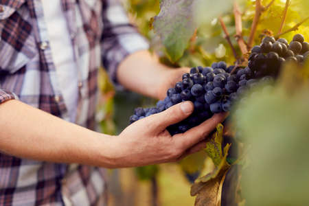 Photo for Male hands holding grapes at harvest in vineyard, toned - Royalty Free Image