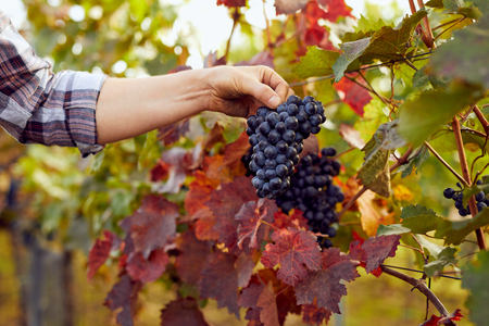 Photo for Male hand with blue grapes in a vineyard - Royalty Free Image