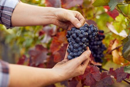 Photo for Male hands holding blue grapes at harvest in vineyard - Royalty Free Image