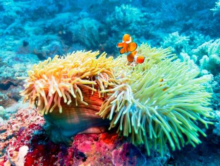 Foto de Underwater Landscape with Clown Fish near Tropical Coral Reef, Bali, Indonesia - Imagen libre de derechos