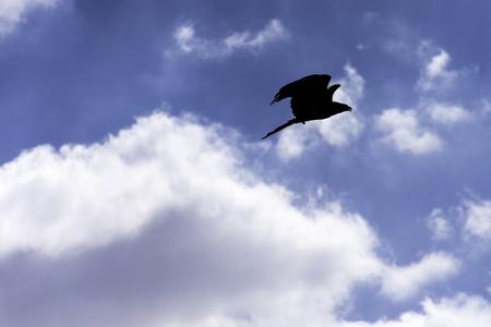 Photo pour Flying red kite (Milvus milvus) - image libre de droit
