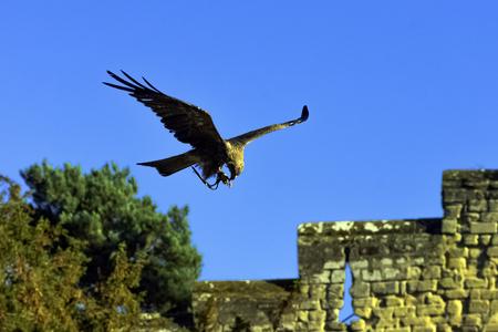 Photo pour Flying red kite (Milvus milvus) in Warwick, Warwickshire, United Kingdom - image libre de droit