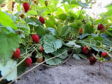 Foto de berries of juicy red strawberries on the bed - Imagen libre de derechos