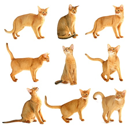 Abyssinian cat collection