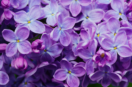 Photo pour Macro image of spring lilac violet flowers - image libre de droit