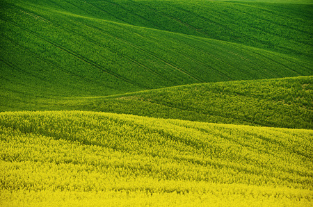 Photo pour Rapeseed yellow green field in spring - image libre de droit