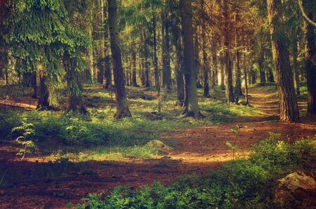 Foto de North scandinavian pine forest, Sweden natural travel outdoors vintage hipster background - Imagen libre de derechos