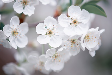 Photo pour Cherry spring flowers - image libre de droit