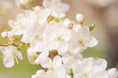 Photo for Apricot tree blossoms - Royalty Free Image