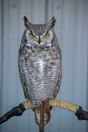 Photo for Great Horned Owl (Bubo virginianus), also known as the tiger owl is a large owl native to the Americas. - Royalty Free Image