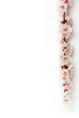 Isolated sakura. Element of design.