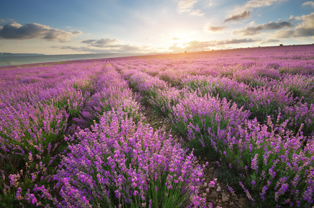 Photo pour Meadow of lavender. Nature composition. - image libre de droit