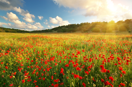 Photo for Big poppy meadow. Spring nature composition. - Royalty Free Image