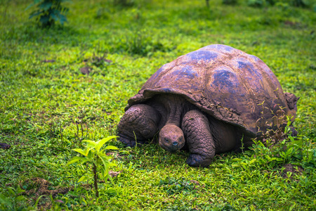 Photo for Galapagos Islands - July 22, 2017: Giant Tortoise in the El Chato reserve of Santa Cruz Island - Royalty Free Image