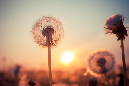 Foto de Real field and dandelion at summer sunset - Imagen libre de derechos