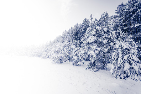 Foto de Spruce Tree foggy Forest Covered by Snow in Winter Landscape - Imagen libre de derechos