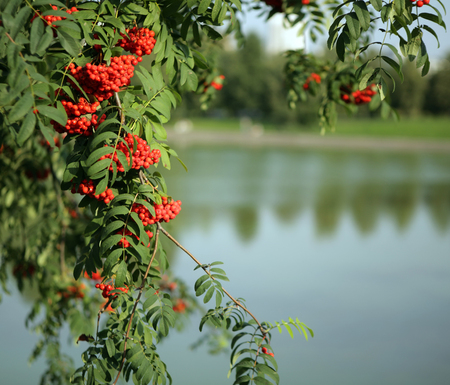 Photo for ashberry with leafs on sky background - Royalty Free Image